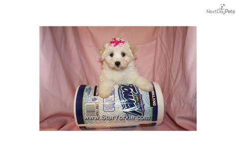 havanese las vegas havanese puppy for sale near los angeles california c6320a22 0d91
