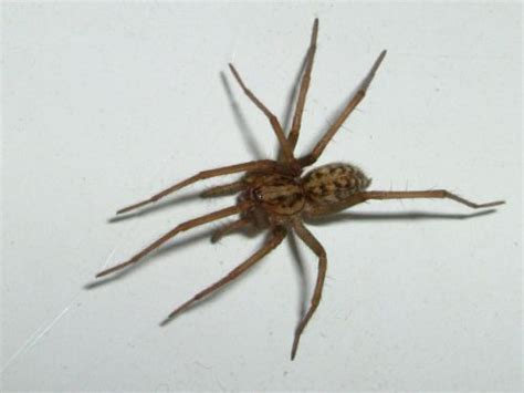 domestic house spider domestic house spider jpg photo nigel sluman photos at pbase com