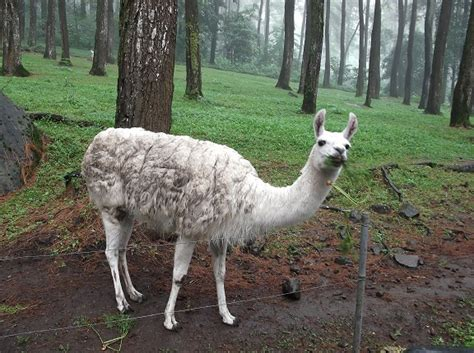 gambar gratis hewan llama berbulu putih  hutan juragan cipir