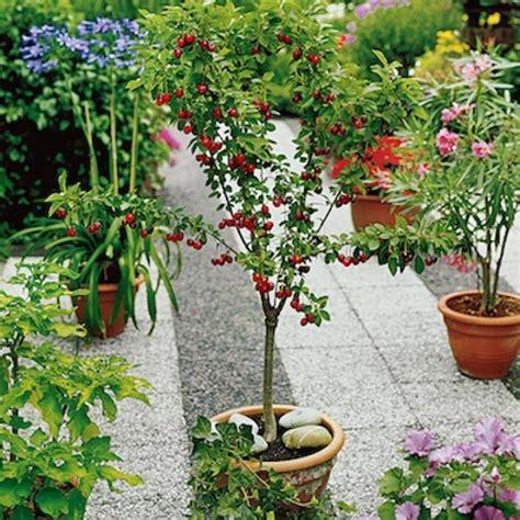 cherry tree planting cherries how to plant grow and harvest cherries the farmer s almanac