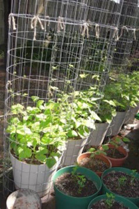 container gardening green beans growing organic pole beans in a container garden on the