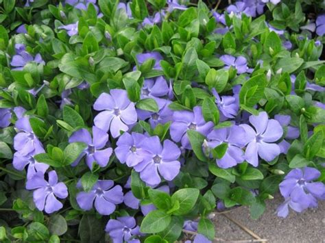 1000 ideas about vinca ground cover on pinterest sedum ground cover galvanized planters and
