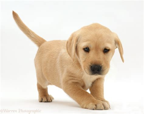 puppys pictures playful yellow labrador puppy standing photo wp41568