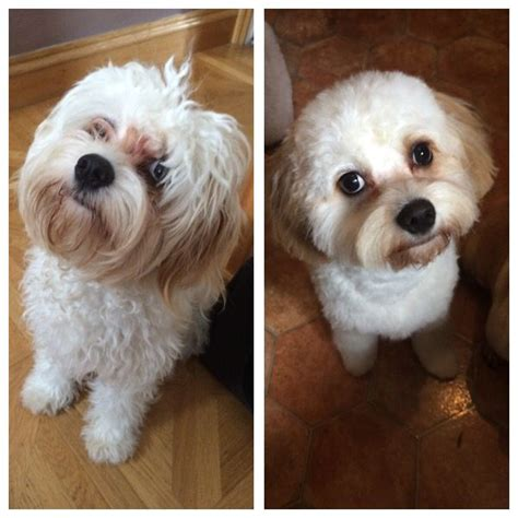 cavapoo haircut before and after 40 best images about puppy love on pinterest poodles