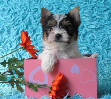 tiny teacup yorkies for sale in kentucky a parti yorkie for sale in hebron ky tiny yorkie puppies for sale