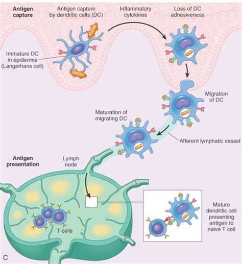 antigen presentation dendritic cell www mbbs medicine humanity process of immunity images
