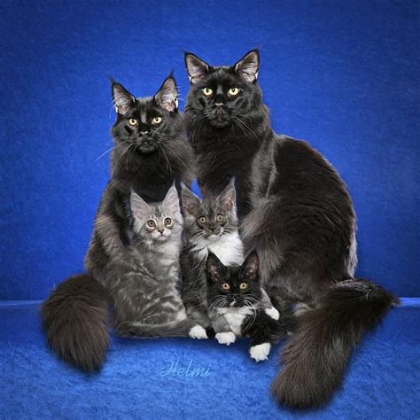 wallpaper of cat family cats et cetera from helmi flick my cat images on popular