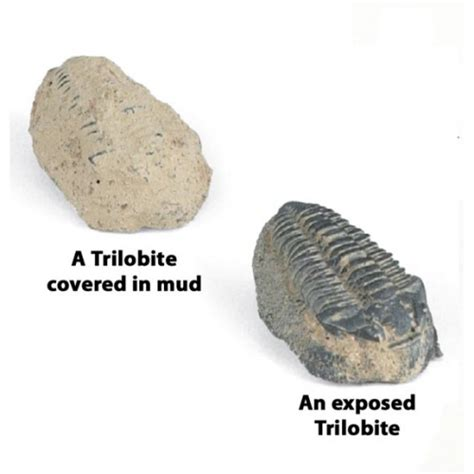 Fossil Replika Multired Shopper trilobite replicas fossil replicas