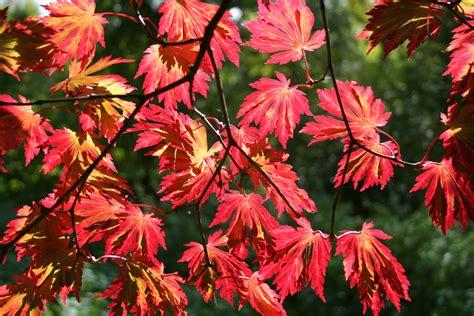 file acer japonicum aconitifolium jpg1b jpg wikimedia commons