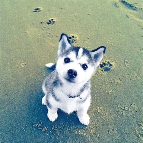 buy a husky puppy 1959 best siberian husky snow dogs images on siberian huskies animals and