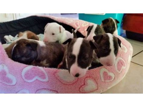 puppies for sale in east bull terrier puppies for sale east ad land south africa