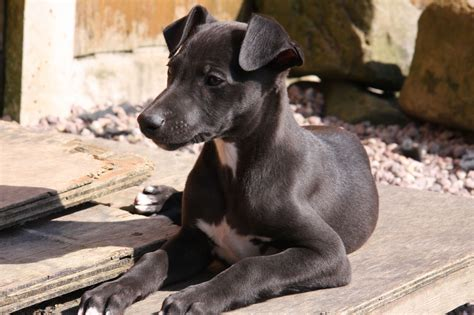 whippet puppies stunning black whippet puppy stoke on trent staffordshire pets4homes