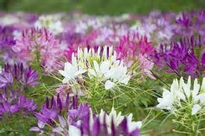 growing cleomes planting cleome spider flower in your garden