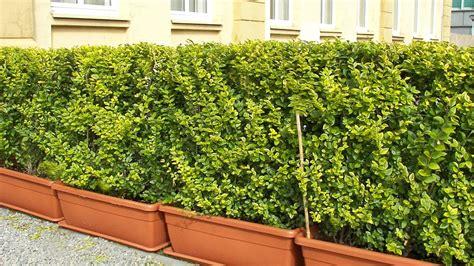 h ngematte f r den balkon winterharte k 252 belpflanzen als sichtschutz ligustrum