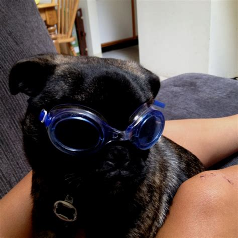 pug goggles pin baby and puppies funnypuppysitecom on