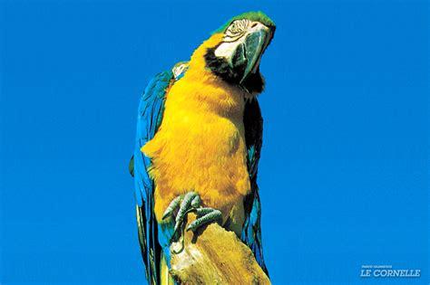 pappagallo cenerino alimentazione ara ararauna