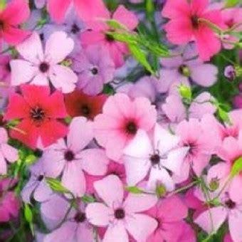 Benih Biji Bunga Badut Putih Biru bibit bunga viscaria mix