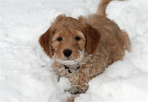 brown labradoodle puppy light brown labradoodle puppy in the snow