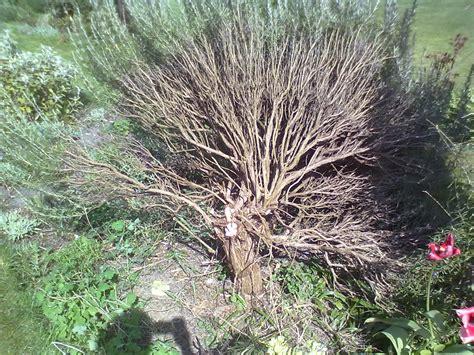 Bush Topiary - rachel the gardener how to remove an overgrown rosemary bush