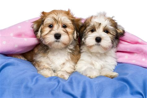 crate havanese puppies breed of the week the havanese simply for dogs