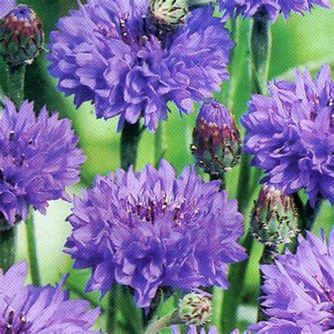 Bibit Bunga Dahlia Pompon jual aneka bibit bunga hias jual bibit bunga murah