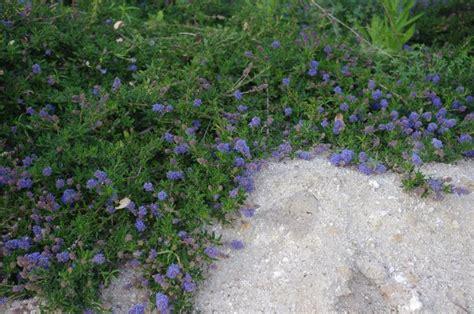 Flowering Shrubs Texas - california native plant ground cover plants