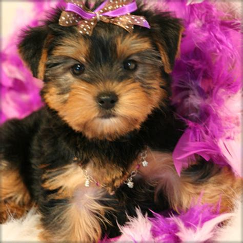 teacup yorkies australia adorable teacup yorkie puppies now available sydney pet services animal services