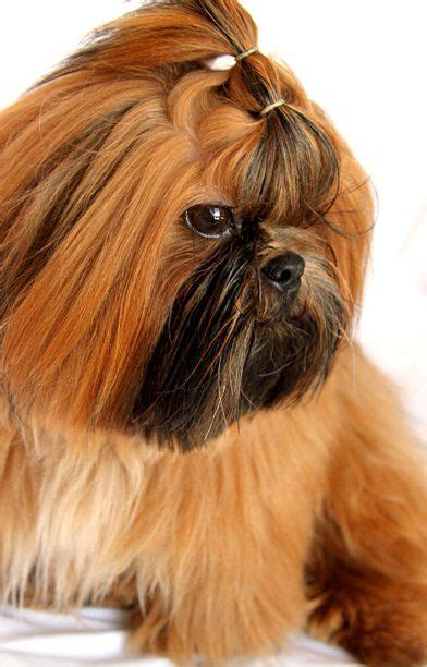 shih tzu with black mask shih tzu gorgeous with black mask fofuras fofurinhas