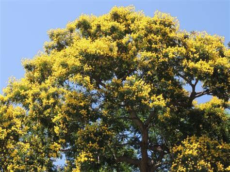 plantfiles pictures yellow poinciana copperpod horsebush yellow jacaranda peltophorum