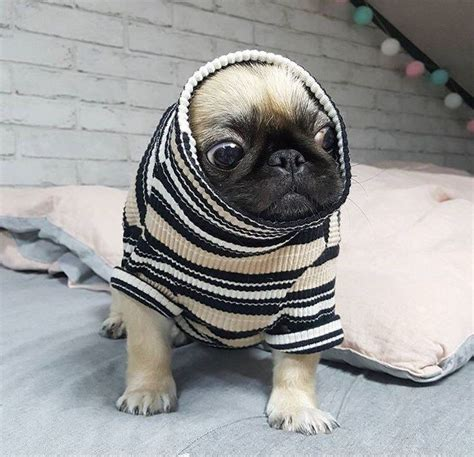 housebreaking a pug best 25 pugs ideas on