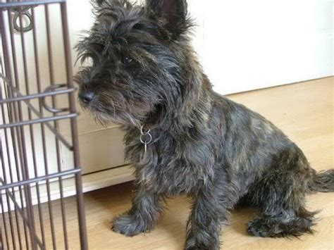 cairn yorkie mix pictures of cairn terrier puppies search all cairns all the time