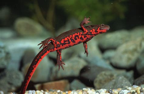 Japanese Interior Design For Small Spaces by Japanese And Chinese Fire Bellied Newts As Pets