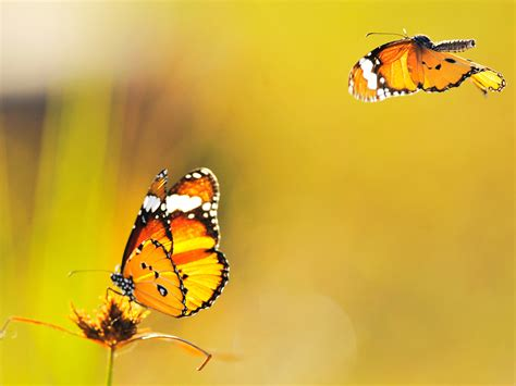 imagenes com mariposas mariposas amarillas imagenes related keywords mariposas