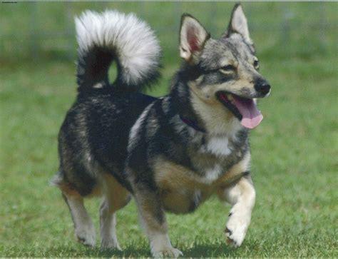 vallhund puppies swedish vallhund puppies rescue pictures information temperament