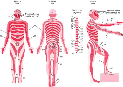 dermatomes map drum dermatome definition of drum dermatome by dictionary