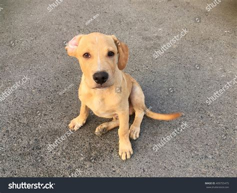 golden retriever mixed with pitbull american pitbull golden retriever mix photo