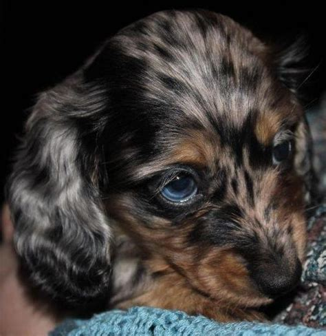 mini dachshund puppies for sale ta haired dapple dachshund puppies www imgkid the image kid has it