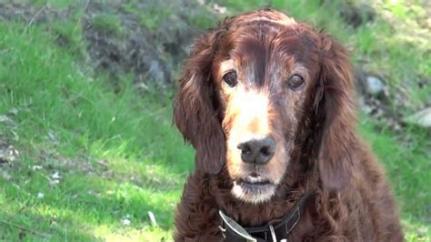 Irish Setter Dog Youtube | irish setter happy dogs youtube