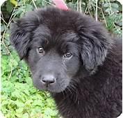 Newfoundland Lab Mix Puppies