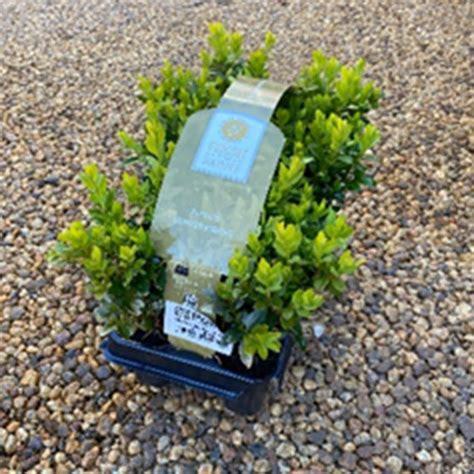 buxus sempervirens pk hardy plants polhill garden centre