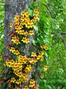 Blooming Bath Flower - plantfiles pictures crossvine cross vine trumpet flower