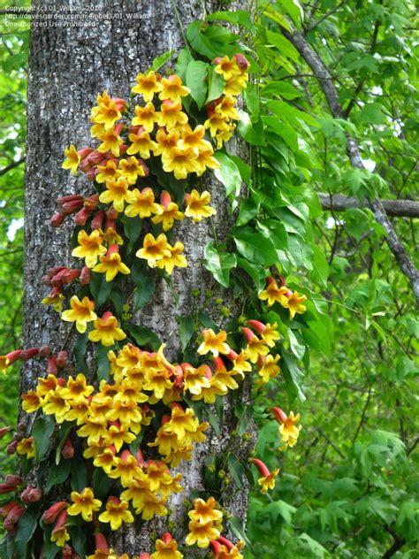 plantfiles pictures crossvine cross vine trumpet flower bignonia capreolata by wihead