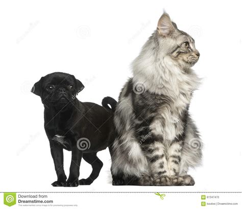 pugs maine maine coon and pug puppy stock photo image 61347470