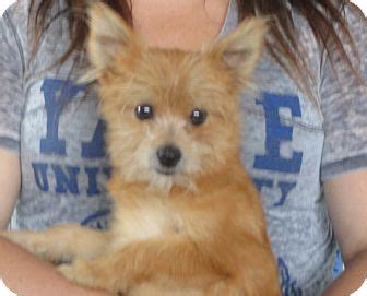 how to take care a pomeranian puppy image gallery pomeranian yorkie