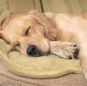 puppy twitching while sleeping researchers say dogs similar sleep patterns to their owners daily mail