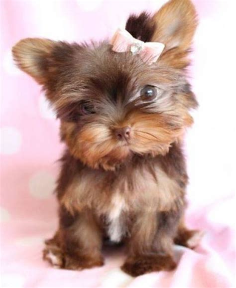 yorkie pom haircuts 17 best images about my favorite yorkie pictures on