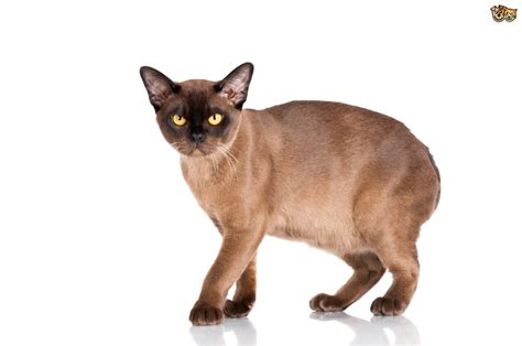 Burmese cat health and genetics   Pets4Homes