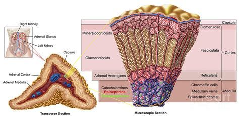 membergland blog anatomy of adrenal gland cross section digital art by
