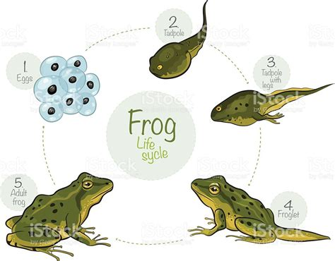 cycle of a cycle of a frog stock vector 506137678 istock