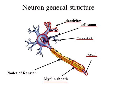 definition generic structure of biography neuron structure at morningside college studyblue